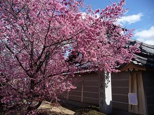 オカメ桜と塀