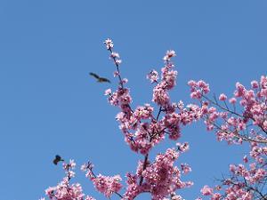 オカメ桜とトビ