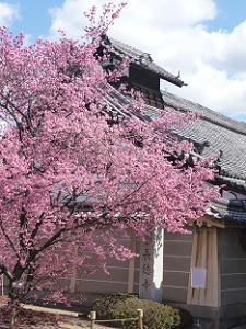 白い雲とオカメ桜