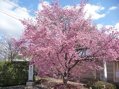オカメ桜の全景