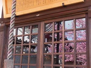 ガラスに映るオカメ桜