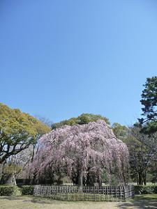青空と出水の枝垂れ桜