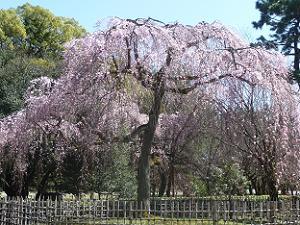 見ごろを迎えた出水の枝垂れ桜