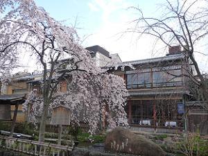 見ごろになった枝垂れ桜