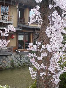 白川と枝垂れ桜