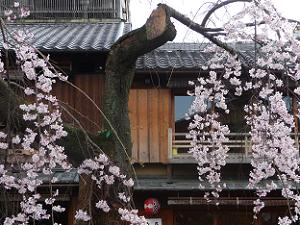 枝垂れ桜と古風な建物