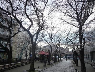 咲き始めのソメイヨシノ