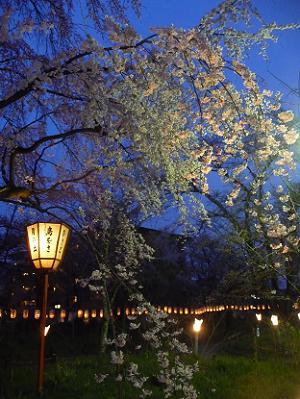 桜苑の枝垂れ桜