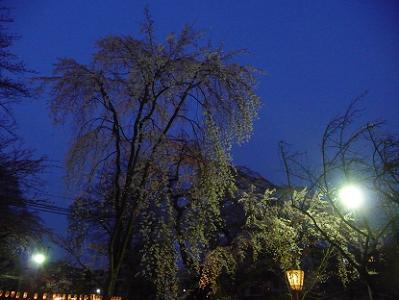 2本の枝垂れ桜