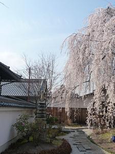 参道まで伸びる枝垂れ桜
