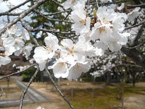 真っ白な桜のアップ