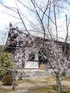 咲き始めのヤマザクラ