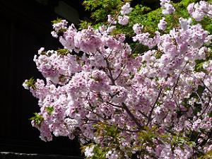 八重桜のアップ