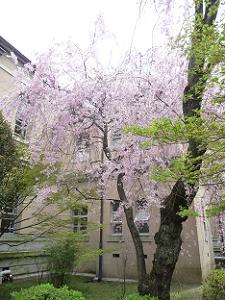 紅一重枝垂れ桜
