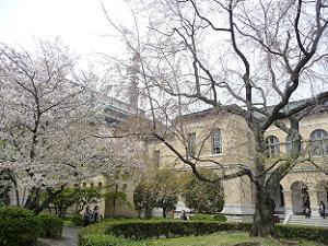 散った祇園枝垂れ桜