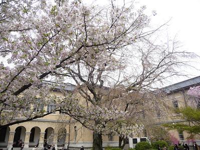 見ごろが続く大島桜