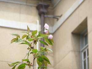 はるか桜の小さな花