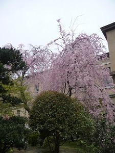 満開の紅一重枝垂れ桜