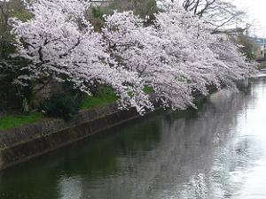 琵琶湖疏水の満開の桜