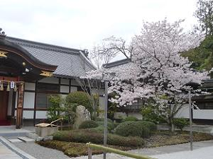 社務所付近の桜