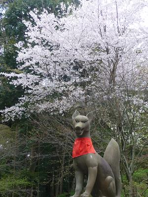 キツネの後ろに満開の桜