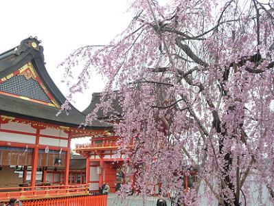 満開の紅枝垂れ桜