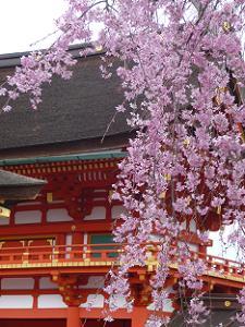 楼門と紅枝垂れ桜