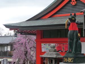 キツネと紅枝垂れ桜