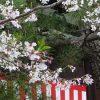 本能寺の桜・2016年