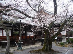 祖師堂と桜