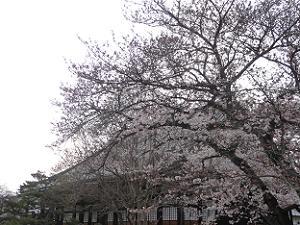 見ごろが近づく桜と本堂