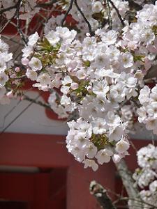 賀茂桜のアップ