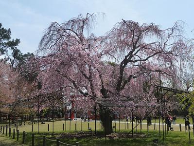 逆光で見る斎王桜