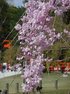 斎王桜のアップ