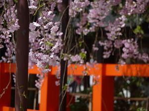 風流桜のアップ