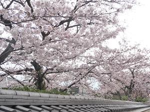 北門付近の桜