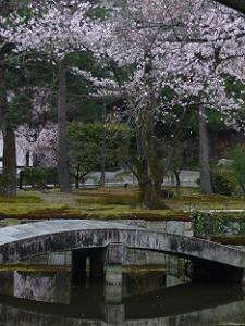 放生池と桜