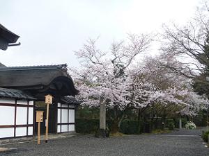 大玄関と桜