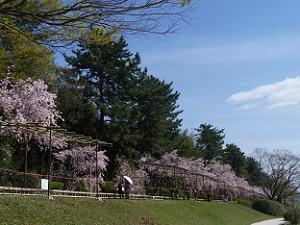 枝垂れ桜の並木