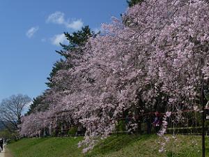 雪崩のような枝垂れ桜