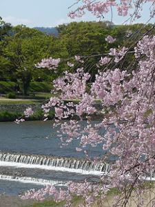 川の流れと枝垂れ桜