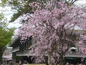 岡崎公園の八重紅枝垂れ桜