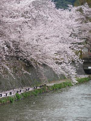 疏水に散る桜の花びら