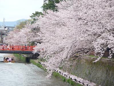 見ごろを保つ桜