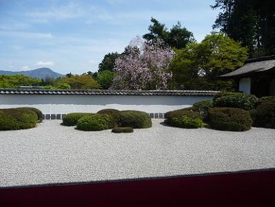 正伝寺の枝垂れ桜