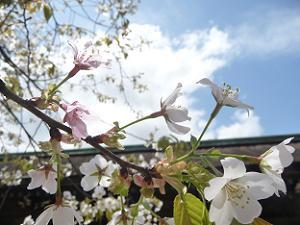 北野神社の北野桜