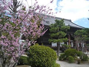 百萬遍知恩院のふじ桜