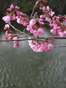 淀城跡公園の桜