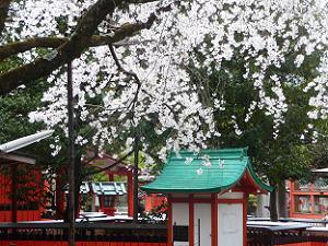 車折神社の溪山桜