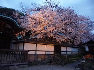 正法寺の夜桜